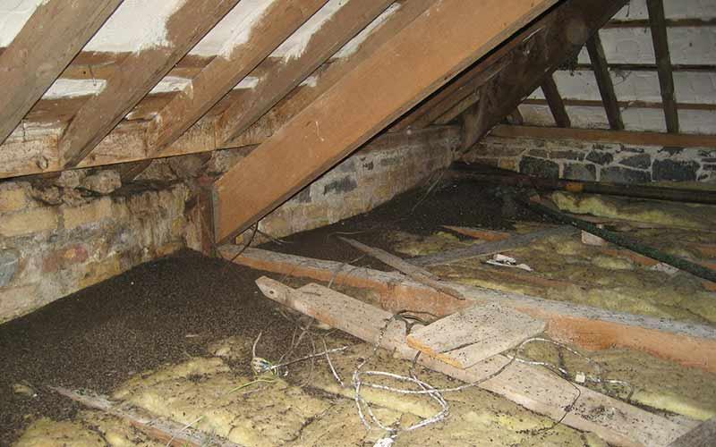 Bat droppings in an attic